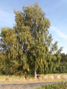 strom-briza